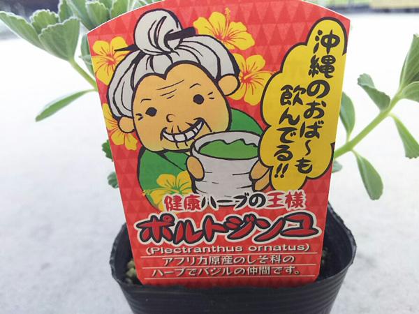 マンジェリコン苗・ポルトジンユ苗の通販なら|健康茶と苗の ...
